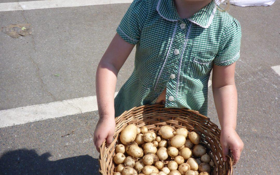 Growing potatoes 2018